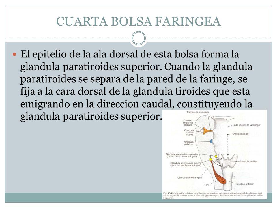 CUARTA BOLSA FARINGEA El epitelio de la ala dorsal de esta bolsa forma la glandula paratiroides superior. Cuando la glandula paratiroides se separa de