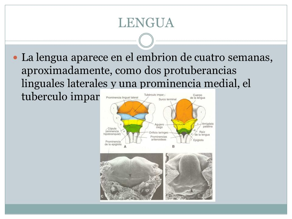 LENGUA La lengua aparece en el embrion de cuatro semanas, aproximadamente, como dos protuberancias linguales laterales y una prominencia medial, el tu