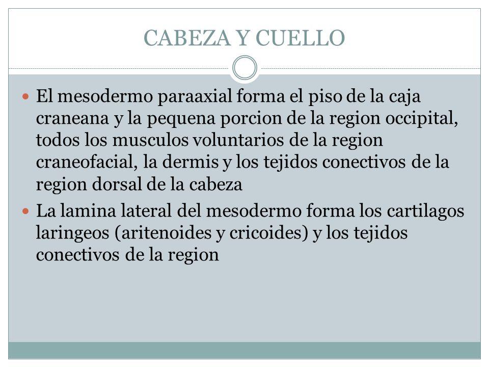 CABEZA Y CUELLO El mesodermo paraaxial forma el piso de la caja craneana y la pequena porcion de la region occipital, todos los musculos voluntarios d