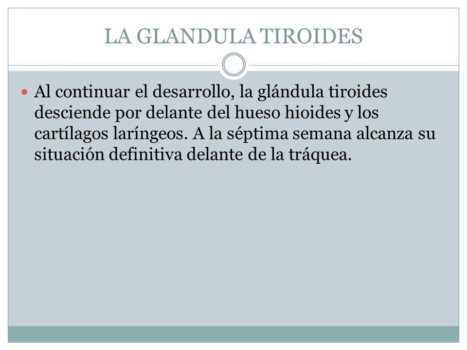 LA GLANDULA TIROIDES Al continuar el desarrollo, la glándula tiroides desciende por delante del hueso hioides y los cartílagos laríngeos. A la séptima