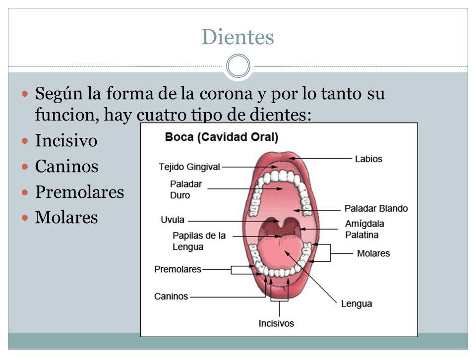 Dientes Según la forma de la corona y por lo tanto su funcion, hay cuatro tipo de dientes: Incisivo Caninos Premolares Molares
