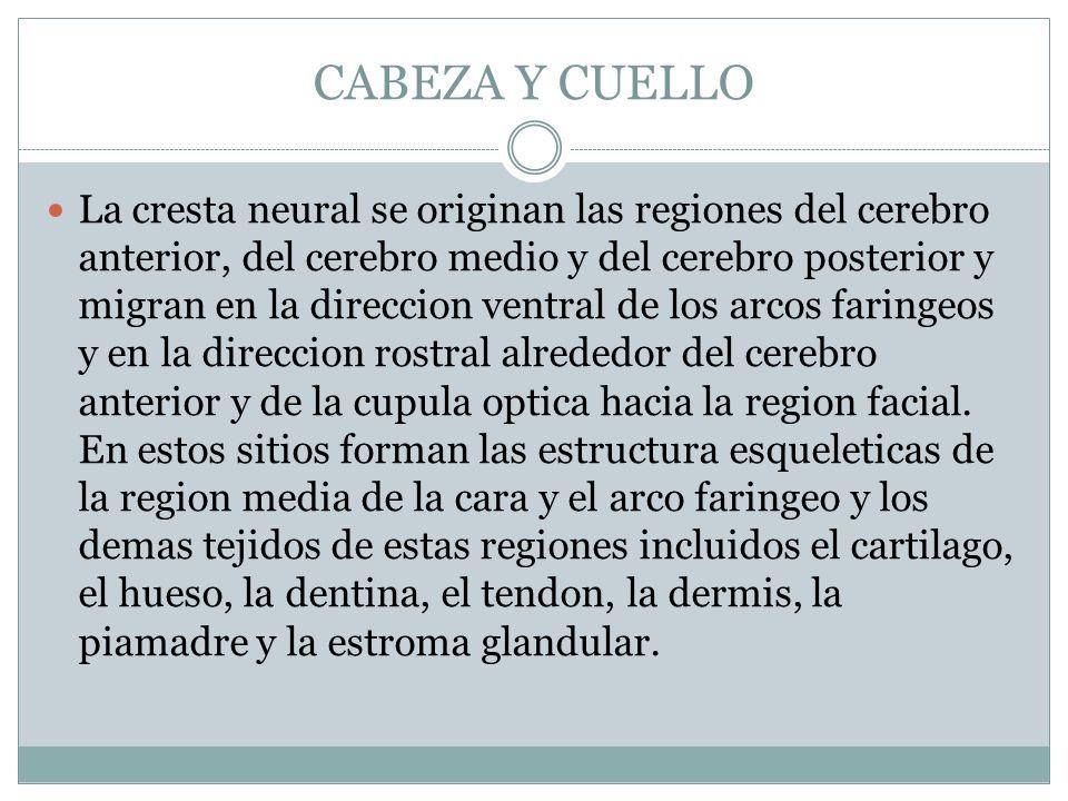 CABEZA Y CUELLO La cresta neural se originan las regiones del cerebro anterior, del cerebro medio y del cerebro posterior y migran en la direccion ven