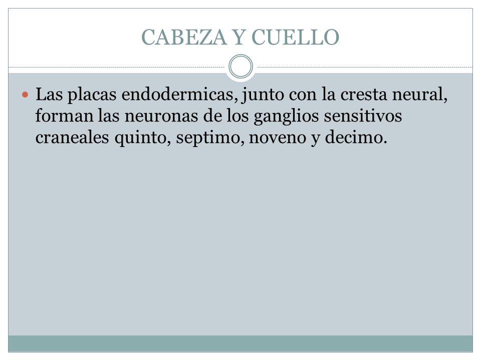 CABEZA Y CUELLO Las placas endodermicas, junto con la cresta neural, forman las neuronas de los ganglios sensitivos craneales quinto, septimo, noveno