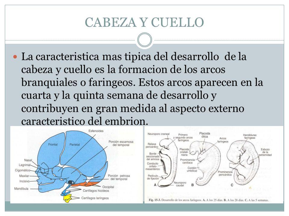 CABEZA Y CUELLO La caracteristica mas tipica del desarrollo de la cabeza y cuello es la formacion de los arcos branquiales o faringeos. Estos arcos ap