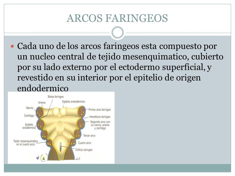 ARCOS FARINGEOS Cada uno de los arcos faringeos esta compuesto por un nucleo central de tejido mesenquimatico, cubierto por su lado externo por el ect