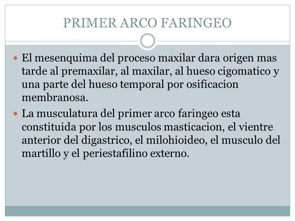 PRIMER ARCO FARINGEO El mesenquima del proceso maxilar dara origen mas tarde al premaxilar, al maxilar, al hueso cigomatico y una parte del hueso temp