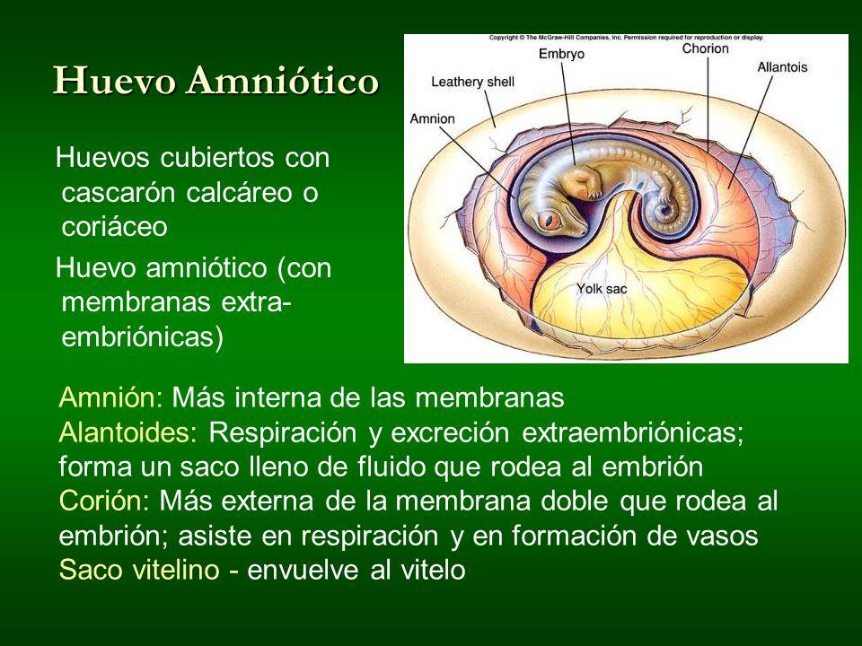 Huevo Amniótico Huevos cubiertos con cascarón calcáreo o coriáceo Huevo amniótico (con membranas extra- embriónicas) Amnión: Más interna de las membra