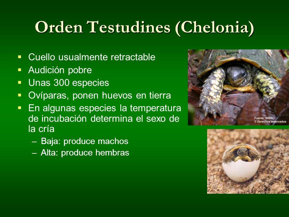 Orden Testudines (Chelonia) Cuello usualmente retractable Audición pobre Unas 300 especies Ovíparas, ponen huevos en tierra En algunas especies la tem