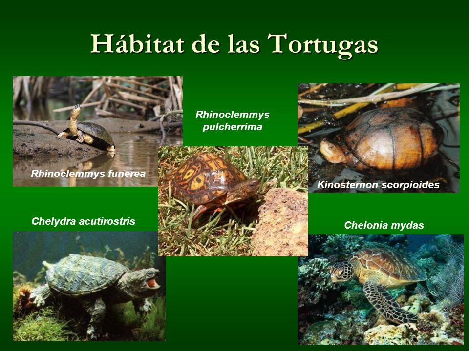 Hábitat de las Tortugas Kinosternon scorpioides Chelonia mydas Rhinoclemmys pulcherrima Rhinoclemmys funerea Chelydra acutirostris