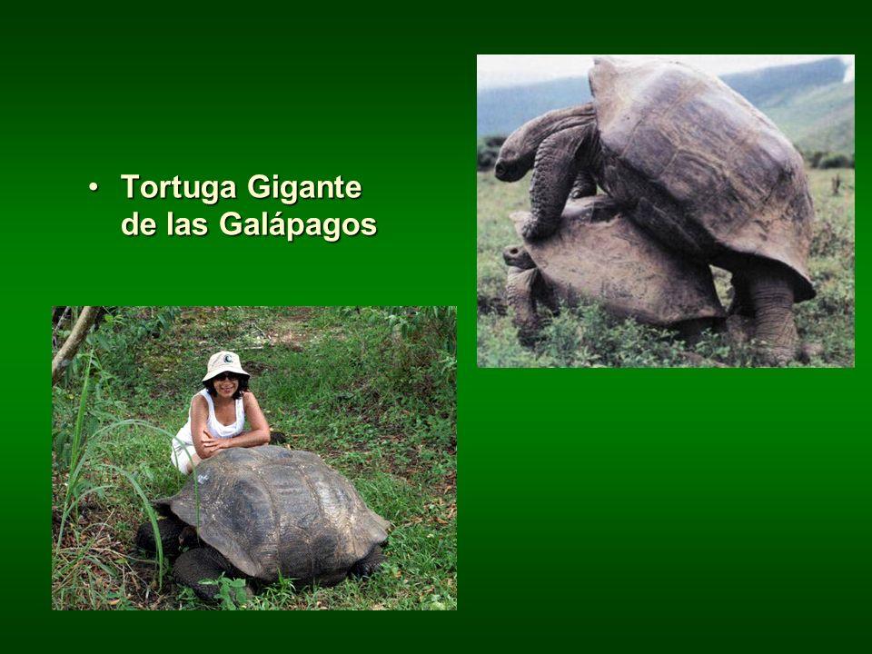 Tortuga Gigante de las GalápagosTortuga Gigante de las Galápagos