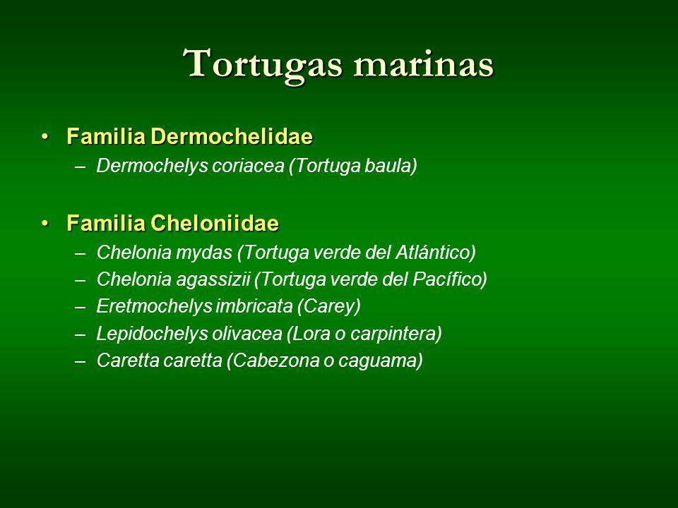 Tortugas marinas Familia DermochelidaeFamilia Dermochelidae –Dermochelys coriacea (Tortuga baula) Familia CheloniidaeFamilia Cheloniidae –Chelonia myd