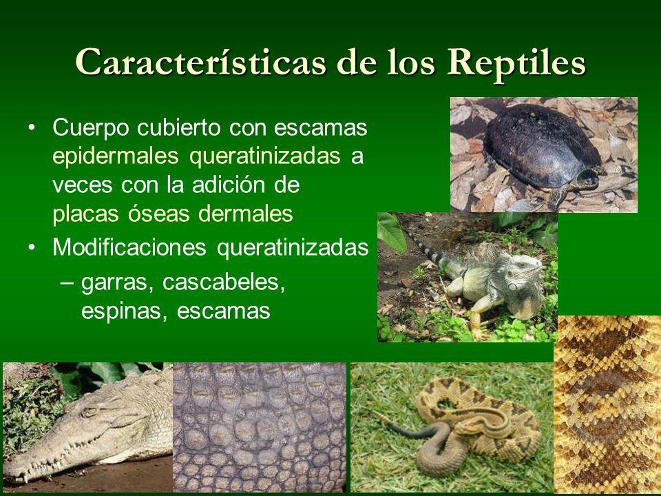 Características de los Reptiles Cuerpo cubierto con escamas epidermales queratinizadas a veces con la adición de placas óseas dermales Modificaciones