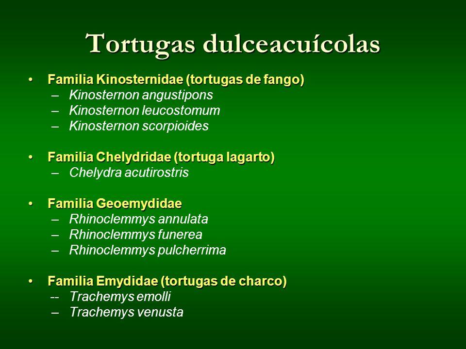 Tortugas dulceacuícolas Familia Kinosternidae (tortugas de fango)Familia Kinosternidae (tortugas de fango) –Kinosternon angustipons –Kinosternon leuco
