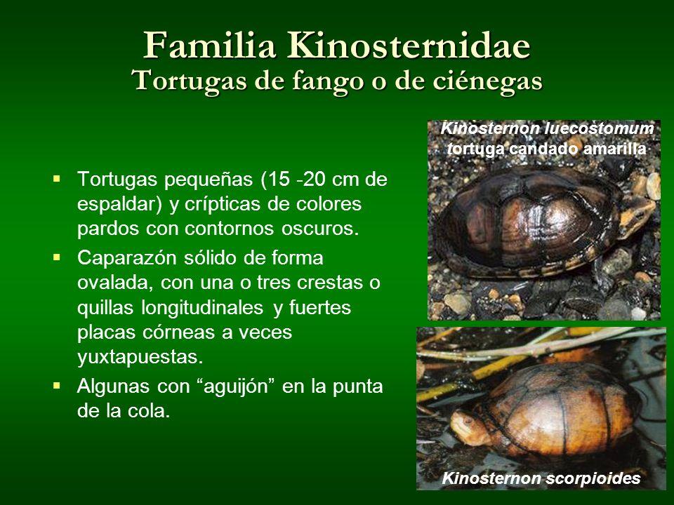 Familia Kinosternidae Tortugas de fango o de ciénegas Tortugas pequeñas (15 -20 cm de espaldar) y crípticas de colores pardos con contornos oscuros. C