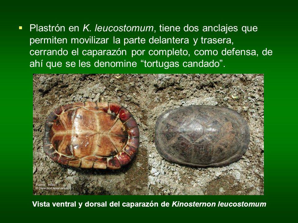 Plastrón en K. leucostomum, tiene dos anclajes que permiten movilizar la parte delantera y trasera, cerrando el caparazón por completo, como defensa,