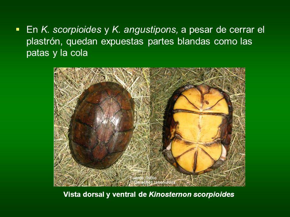 En K. scorpioides y K. angustipons, a pesar de cerrar el plastrón, quedan expuestas partes blandas como las patas y la cola Vista dorsal y ventral de
