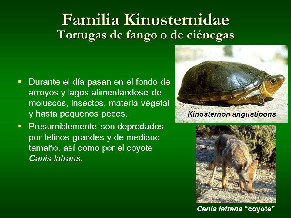 Familia Kinosternidae Tortugas de fango o de ciénegas Durante el día pasan en el fondo de arroyos y lagos alimentándose de moluscos, insectos, materia