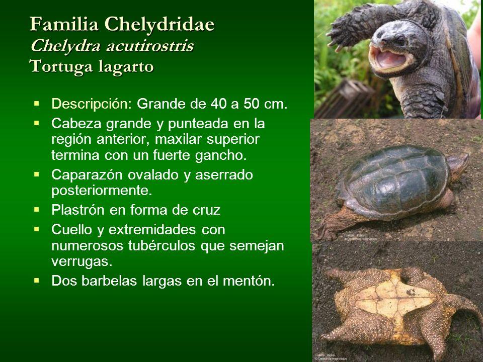 Familia Chelydridae Chelydra acutirostris Tortuga lagarto Descripción: Grande de 40 a 50 cm. Cabeza grande y punteada en la región anterior, maxilar s