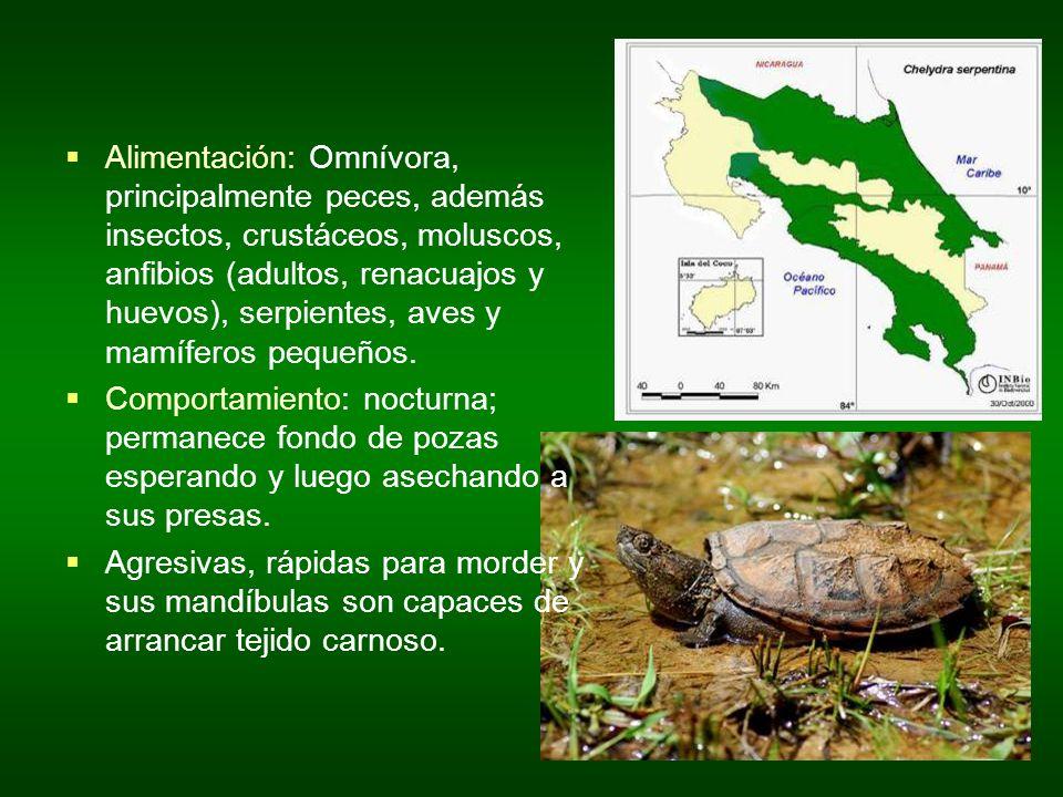 Alimentación: Omnívora, principalmente peces, además insectos, crustáceos, moluscos, anfibios (adultos, renacuajos y huevos), serpientes, aves y mamíf