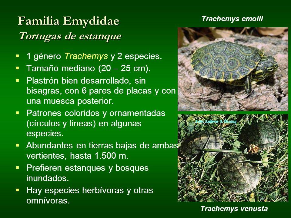 Trachemys venusta Familia Emydidae Tortugas de estanque 1 género Trachemys y 2 especies. Tamaño mediano (20 – 25 cm). Plastrón bien desarrollado, sin