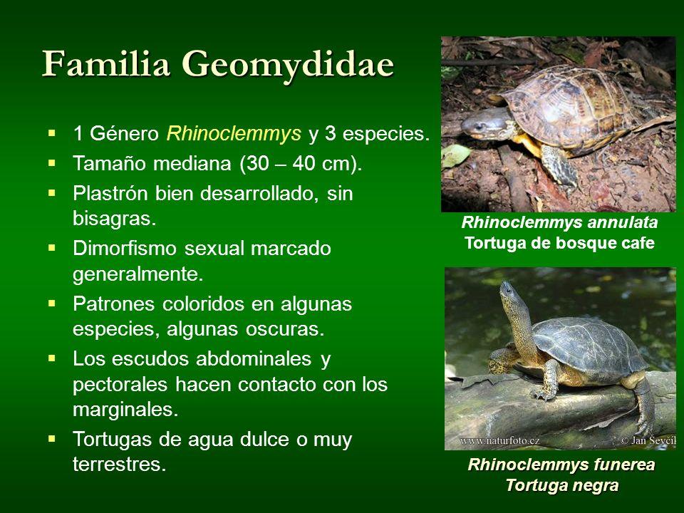 Familia Geomydidae Rhinoclemmys annulata Tortuga de bosque cafe Rhinoclemmys funerea Tortuga negra 1 Género Rhinoclemmys y 3 especies. Tamaño mediana