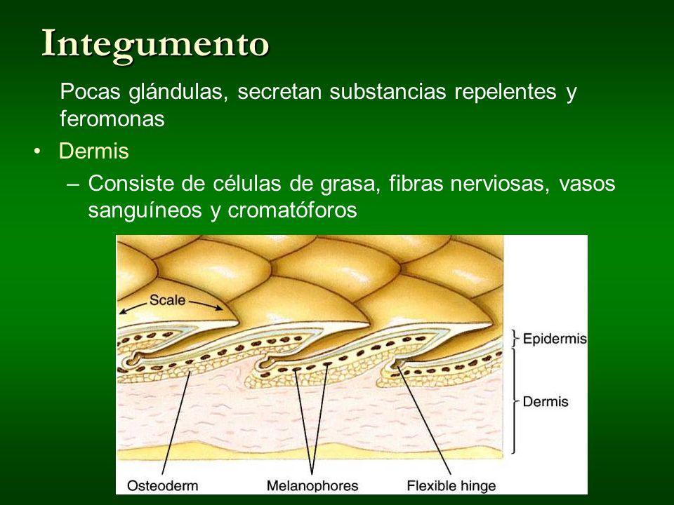 Integumento Pocas glándulas, secretan substancias repelentes y feromonas Dermis –Consiste de células de grasa, fibras nerviosas, vasos sanguíneos y cr