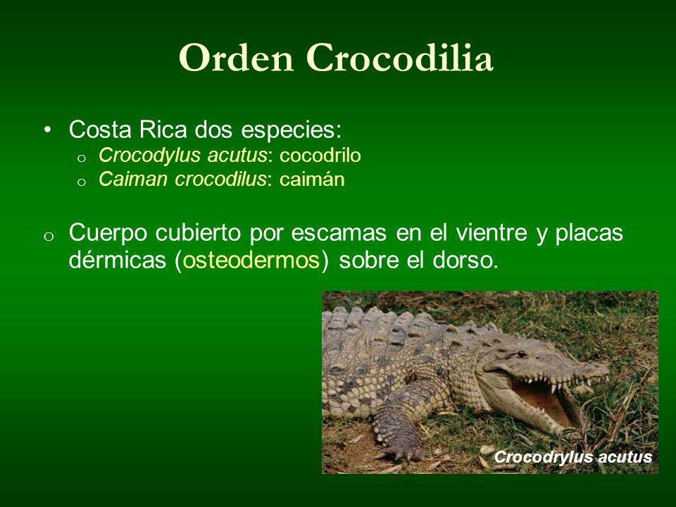 Orden Crocodilia Costa Rica dos especies: o Crocodylus acutus: cocodrilo o Caiman crocodilus: caimán o Cuerpo cubierto por escamas en el vientre y pla
