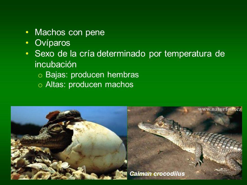 Caiman crocodilus Machos con pene Ovíparos Sexo de la cría determinado por temperatura de incubación o Bajas: producen hembras o Altas: producen macho