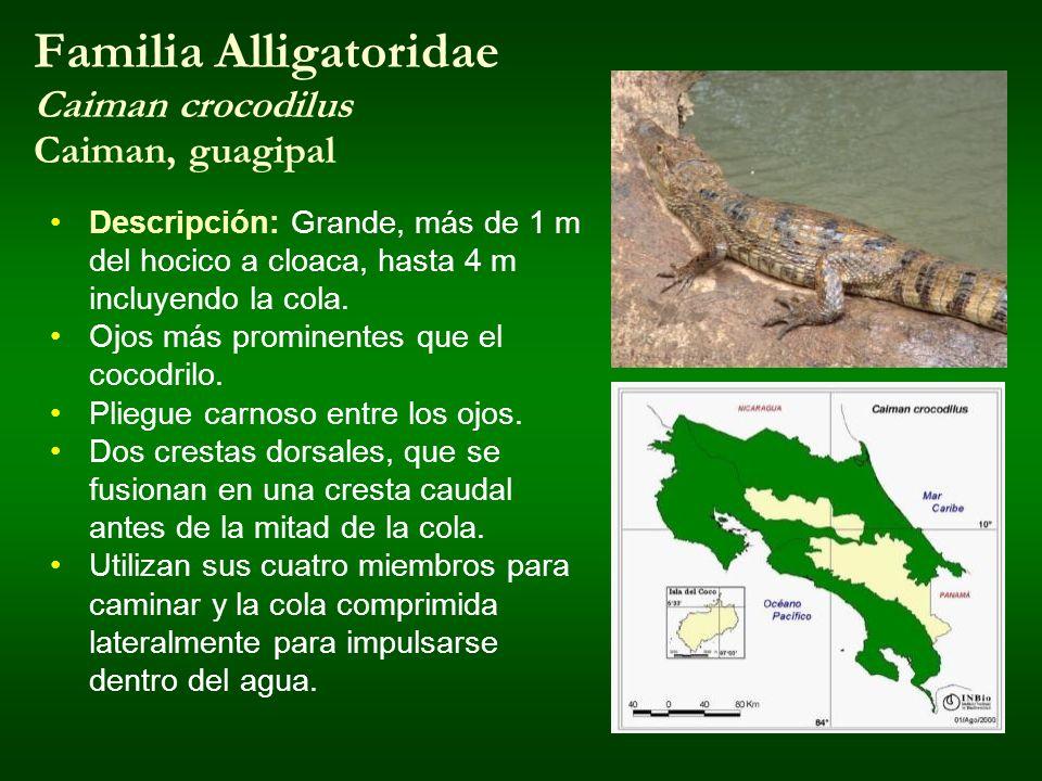 Familia Alligatoridae Caiman crocodilus Caiman, guagipal Descripción: Grande, más de 1 m del hocico a cloaca, hasta 4 m incluyendo la cola. Ojos más p