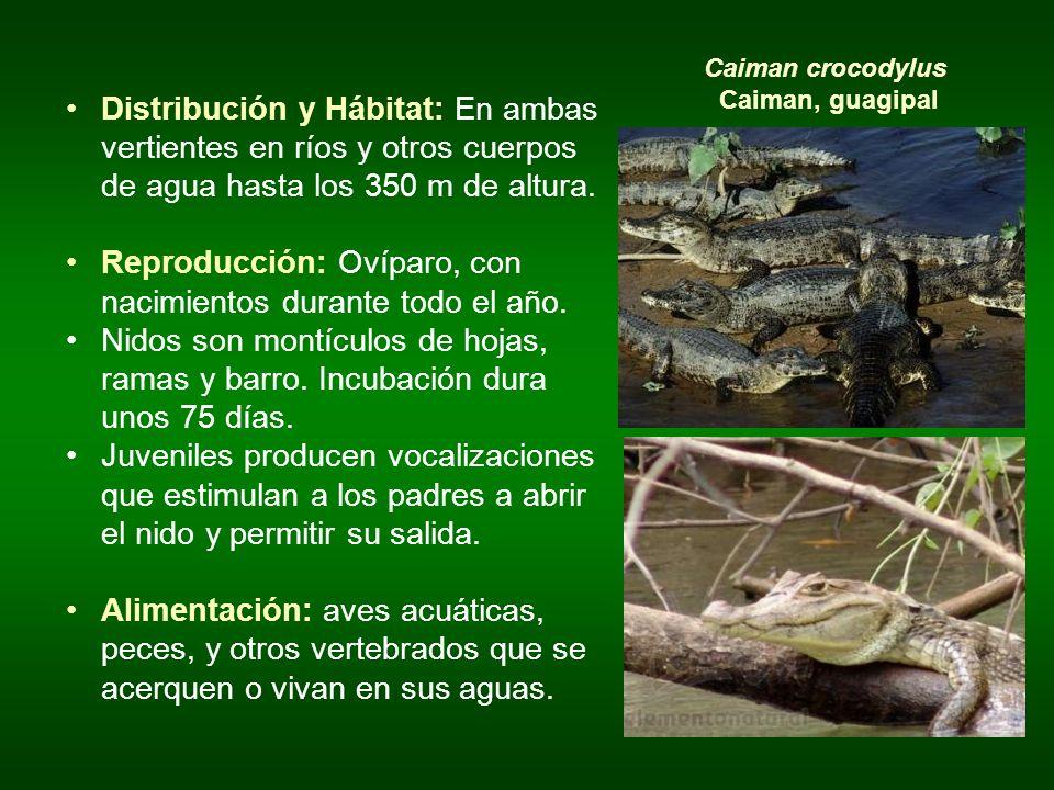 Distribución y Hábitat: En ambas vertientes en ríos y otros cuerpos de agua hasta los 350 m de altura. Reproducción: Ovíparo, con nacimientos durante