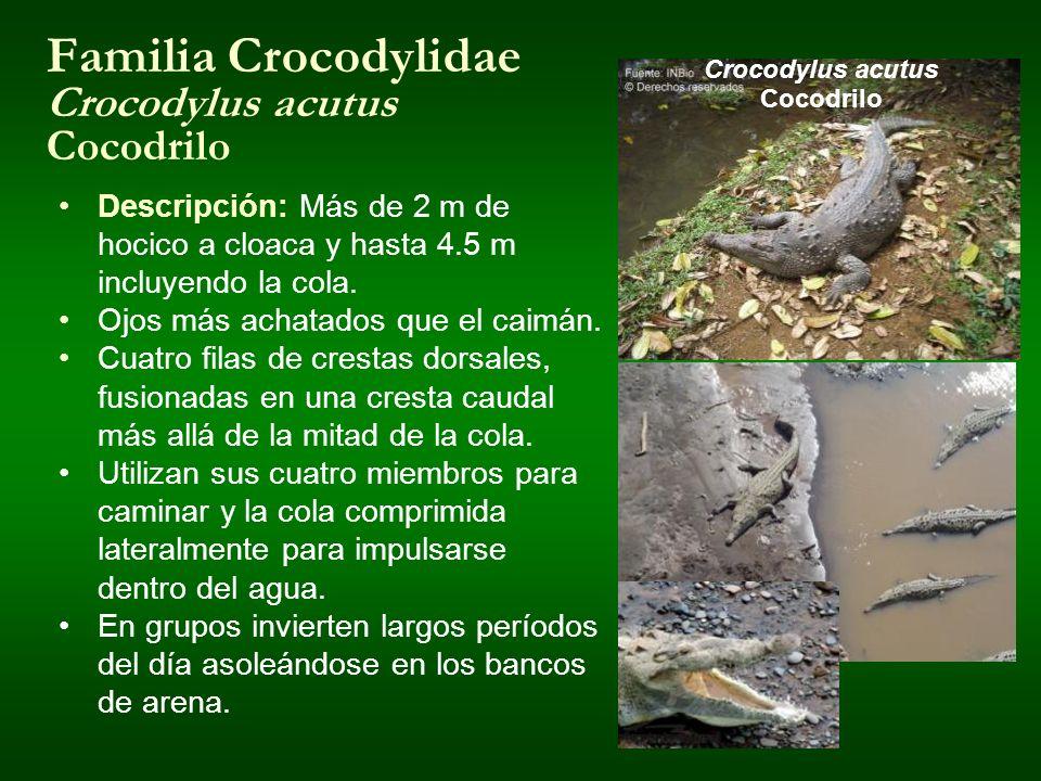 Familia Crocodylidae Crocodylus acutus Cocodrilo Crocodylus acutus Cocodrilo Descripción: Más de 2 m de hocico a cloaca y hasta 4.5 m incluyendo la co