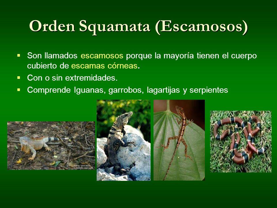 Orden Squamata (Escamosos) Son llamados escamosos porque la mayoría tienen el cuerpo cubierto de escamas córneas. Con o sin extremidades. Comprende Ig
