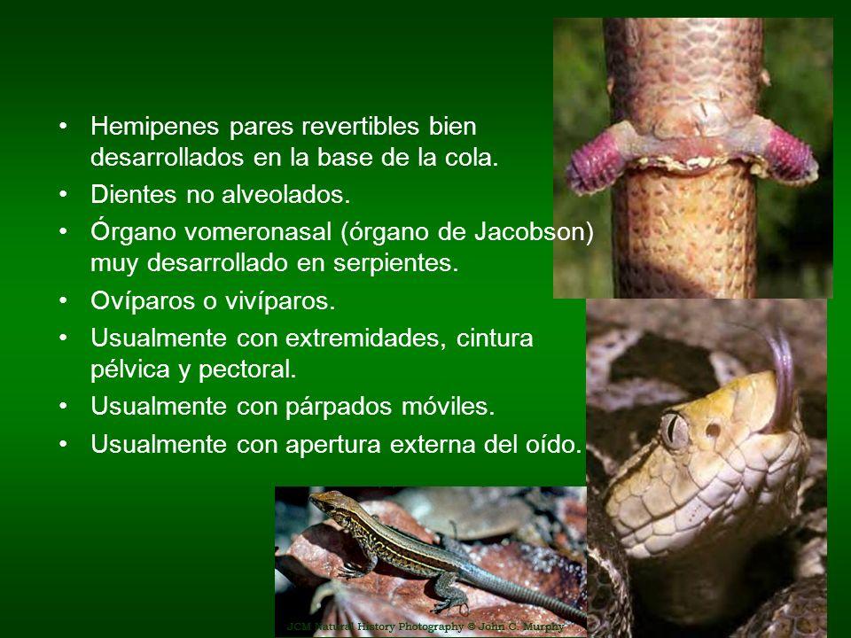 Hemipenes pares revertibles bien desarrollados en la base de la cola. Dientes no alveolados. Órgano vomeronasal (órgano de Jacobson) muy desarrollado