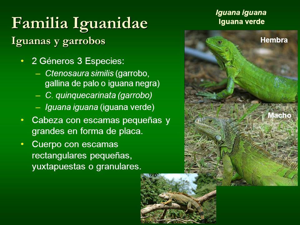 Familia Iguanidae Iguanas y garrobos Hembra Macho Iguana iguana Iguana verde 2 Géneros 3 Especies: –Ctenosaura similis (garrobo, gallina de palo o igu