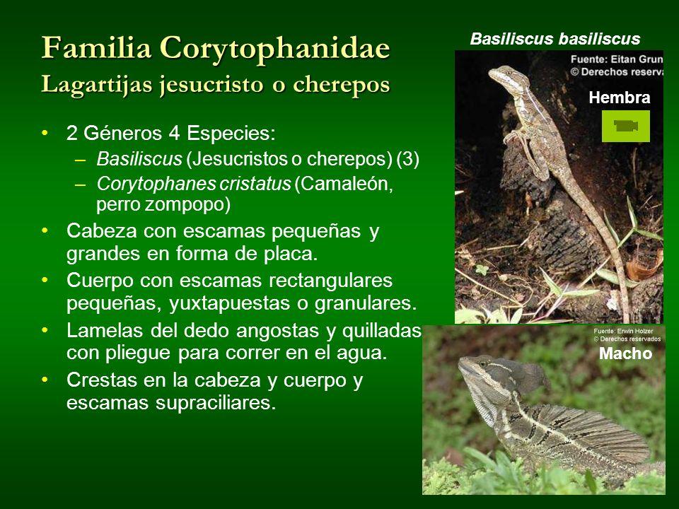 Familia Corytophanidae Lagartijas jesucristo o cherepos Basiliscus basiliscus Macho Hembra 2 Géneros 4 Especies: –Basiliscus (Jesucristos o cherepos)
