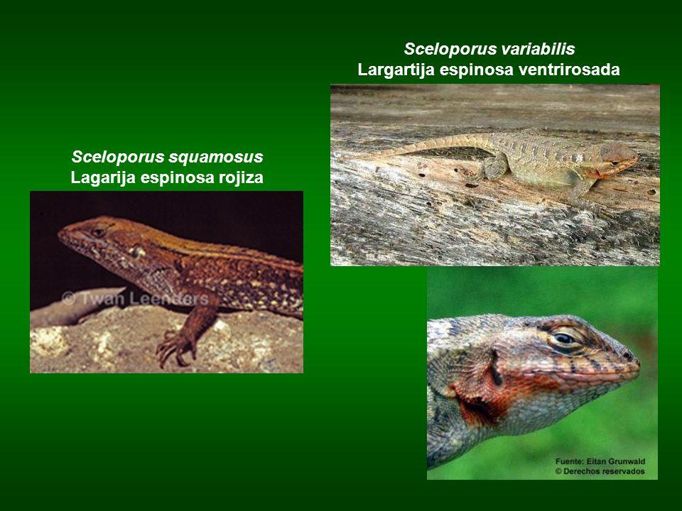 Sceloporus squamosus Lagarija espinosa rojiza Sceloporus variabilis Largartija espinosa ventrirosada