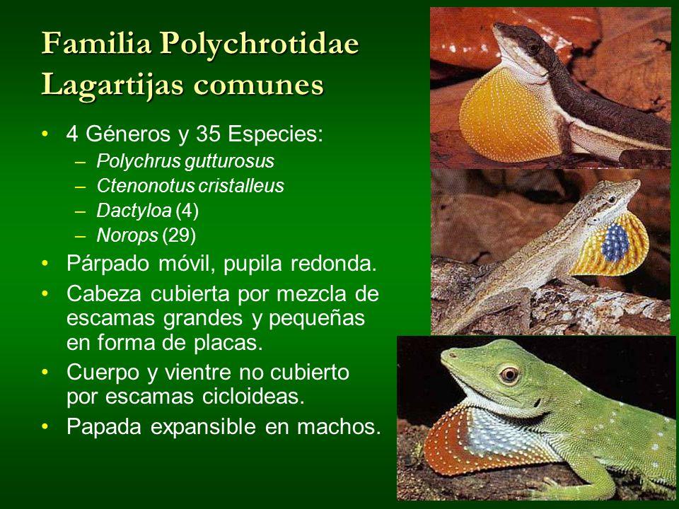 Familia Polychrotidae Lagartijas comunes 4 Géneros y 35 Especies: –Polychrus gutturosus –Ctenonotus cristalleus –Dactyloa (4) –Norops (29) Párpado móv