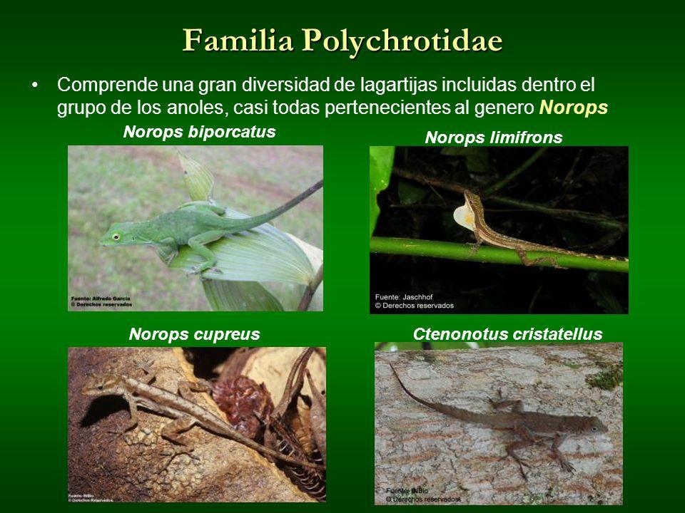 Familia Polychrotidae Comprende una gran diversidad de lagartijas incluidas dentro el grupo de los anoles, casi todas pertenecientes al genero Norops