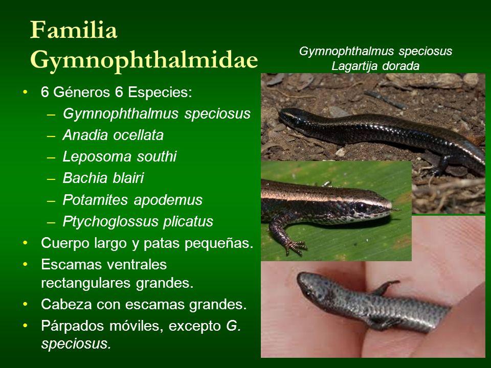 Familia Gymnophthalmidae 6 Géneros 6 Especies: –Gymnophthalmus speciosus –Anadia ocellata –Leposoma southi –Bachia blairi –Potamites apodemus –Ptychog
