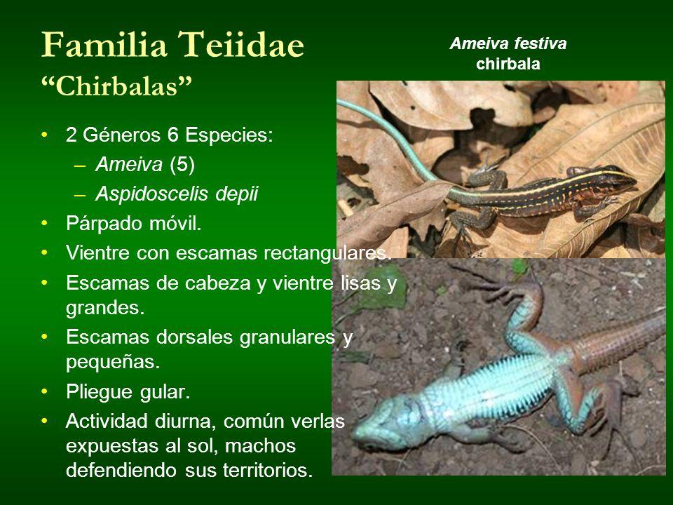 Familia Teiidae Chirbalas 2 Géneros 6 Especies: –Ameiva (5) –Aspidoscelis depii Párpado móvil. Vientre con escamas rectangulares. Escamas de cabeza y