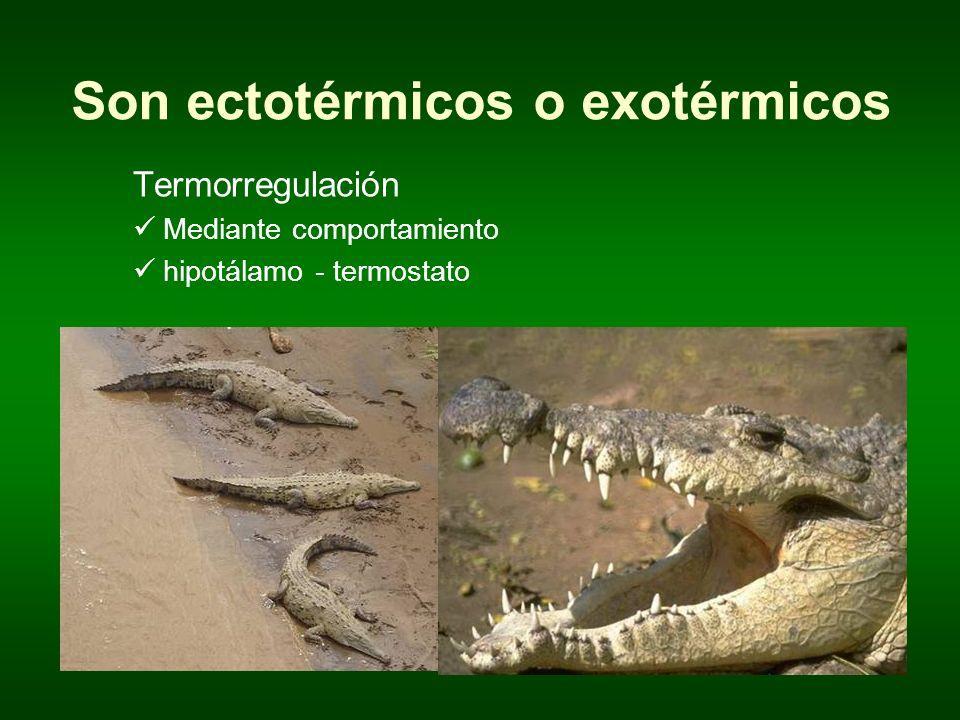 Son ectotérmicos o exotérmicos Termorregulación Mediante comportamiento hipotálamo - termostato
