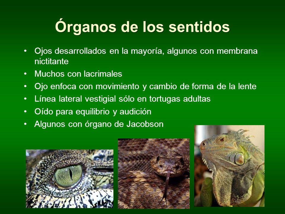 Órganos de los sentidos Ojos desarrollados en la mayoría, algunos con membrana nictitante Muchos con lacrimales Ojo enfoca con movimiento y cambio de