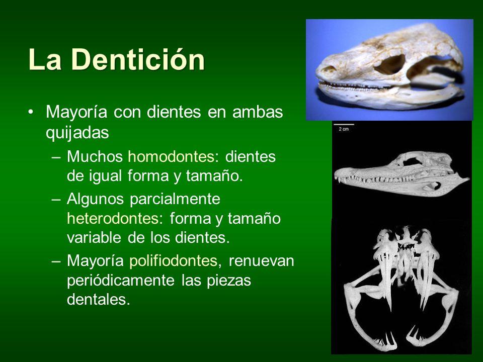 La Dentición Mayoría con dientes en ambas quijadas –Muchos homodontes: dientes de igual forma y tamaño. –Algunos parcialmente heterodontes: forma y ta