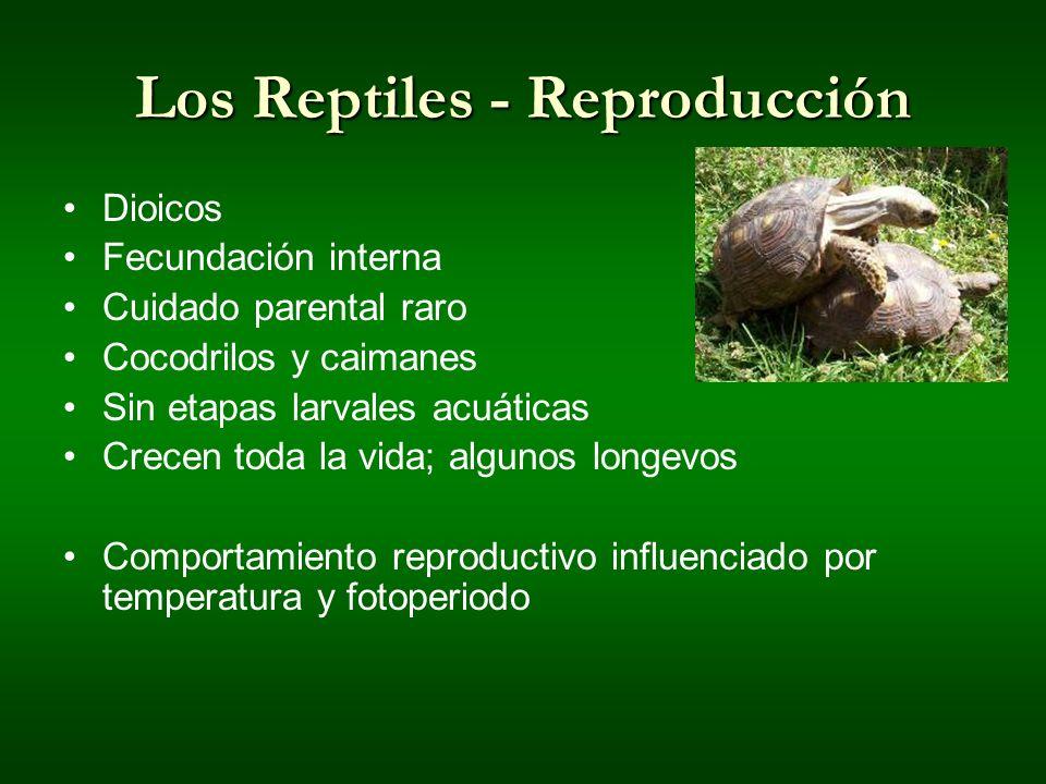 Los Reptiles - Reproducción Dioicos Fecundación interna Cuidado parental raro Cocodrilos y caimanes Sin etapas larvales acuáticas Crecen toda la vida;