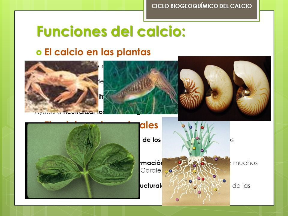 Funciones del calcio: El calcio en los seres humanos CICLO BIOGEOQUÍMICO DEL CALCIO Es el elemento metálico más abundante en el cuerpo humano.