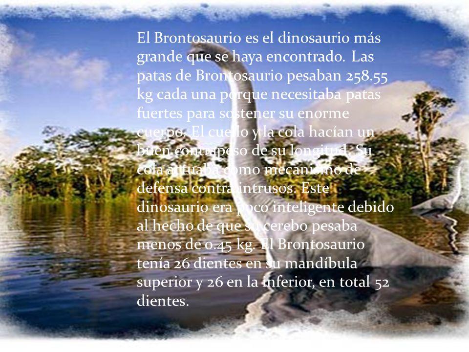 El Brontosaurio es el dinosaurio más grande que se haya encontrado. Las patas de Brontosaurio pesaban 258.55 kg cada una porque necesitaba patas fuert