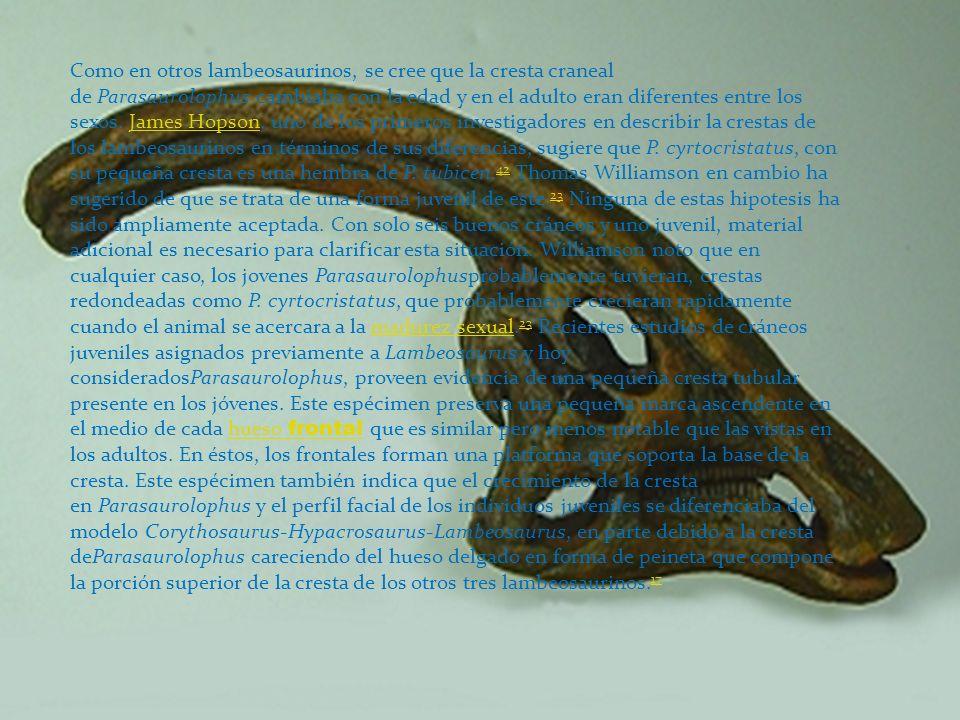 Como en otros lambeosaurinos, se cree que la cresta craneal de Parasaurolophus cambiaba con la edad y en el adulto eran diferentes entre los sexos. Ja