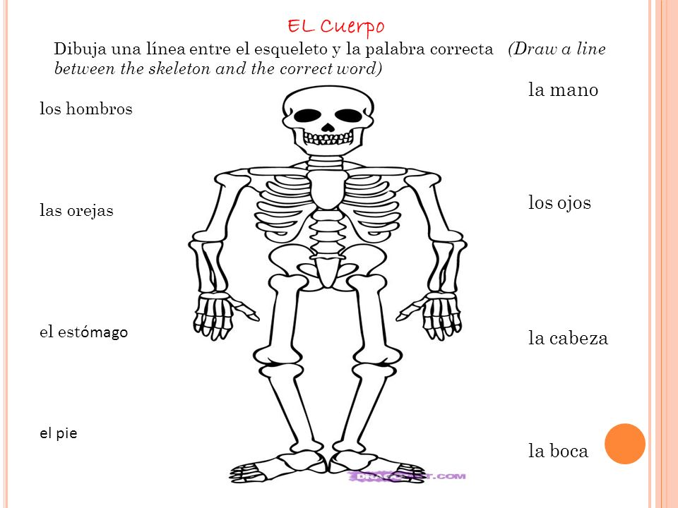 EL Cuerpo los hombros las orejas el est ómago el pie la pierna la mano los ojos la cabeza la boca la nariz Dibuja una línea entre el esqueleto y la palabra correcta (Draw a line between the skeleton and the correct word)