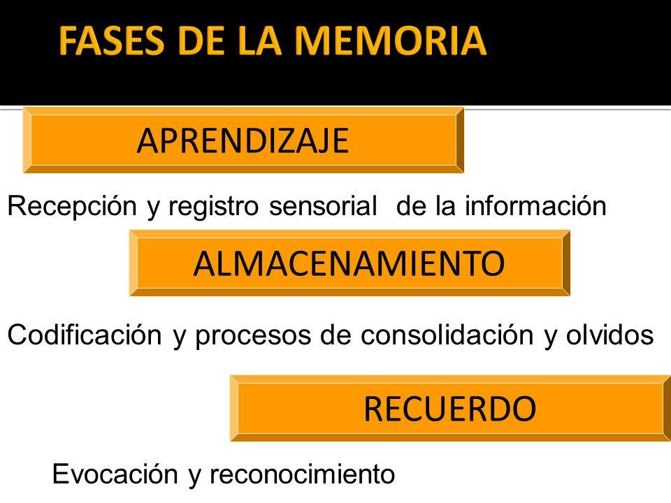 APRENDIZAJE ALMACENAMIENTO RECUERDO Recepción y registro sensorial de la información Codificación y procesos de consolidación y olvidos Evocación y re