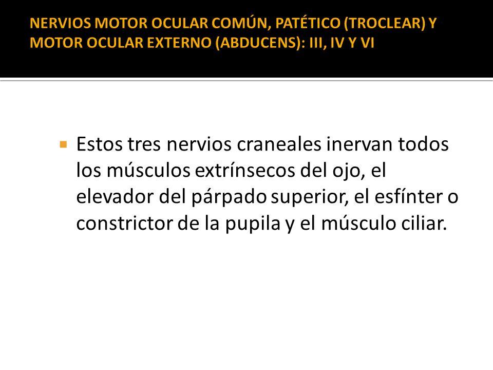 Estos tres nervios craneales inervan todos los músculos extrínsecos del ojo, el elevador del párpado superior, el esfínter o constrictor de la pupila